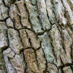 Bark of Ancient Oak