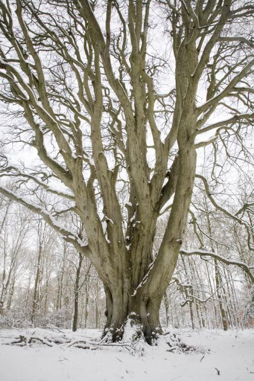 Beech Pollard winter