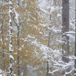 Beech Trees and snow