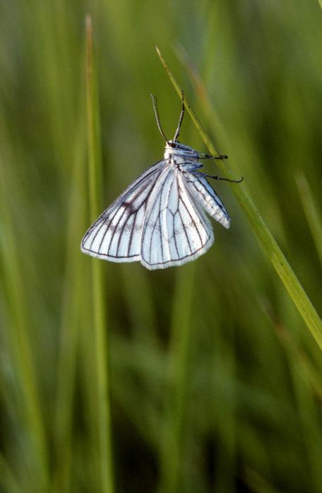 Black veined moth