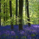 Bluebells and Beech woodland