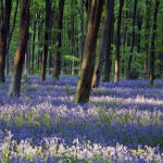 Bluebells and Beech