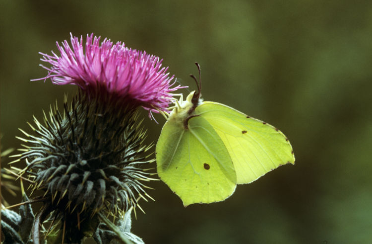 Brimstone male