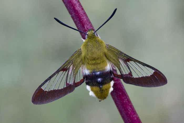 Broad bordered bee hawk moth