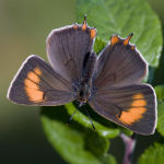 Brown Hairstreak female