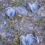 Chalkhill blues