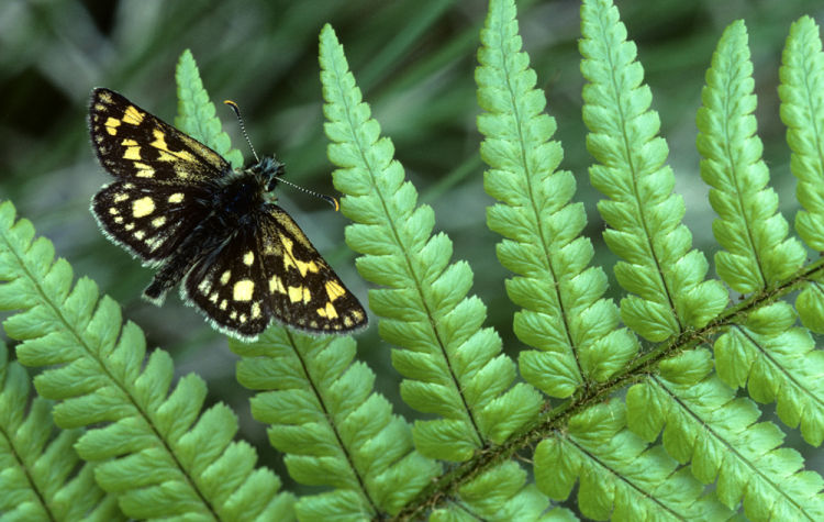 Chequered skipper male