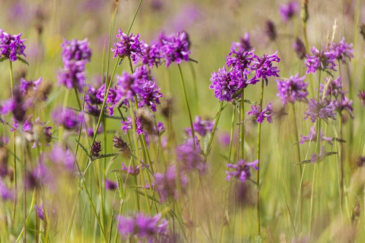 Betony Cloatley meadows