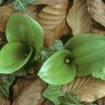 Common Twayblade and beech leaves