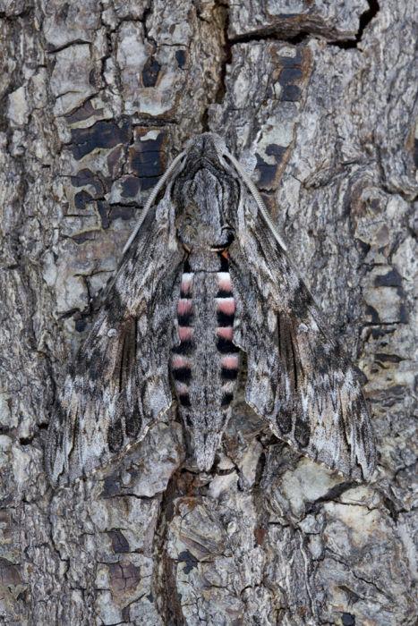 Convolvolous hawk moth