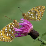 Dark green fritillaries, female and male