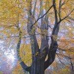 Beech Pollard Savernake Forest