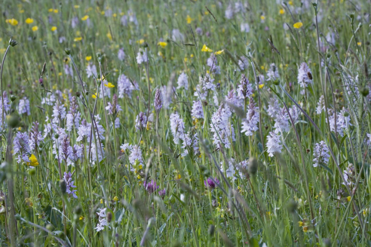 Heath spotted orchids