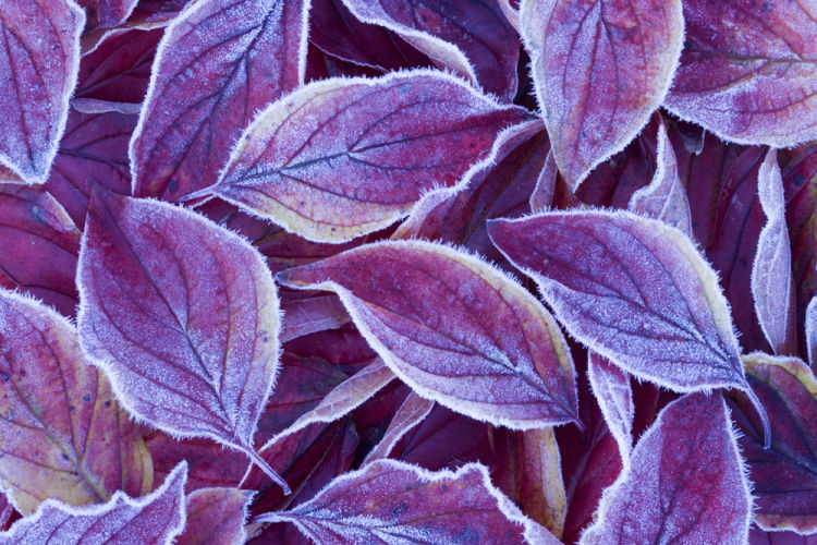 Frosted dogwood leaves