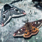 Emperor moths