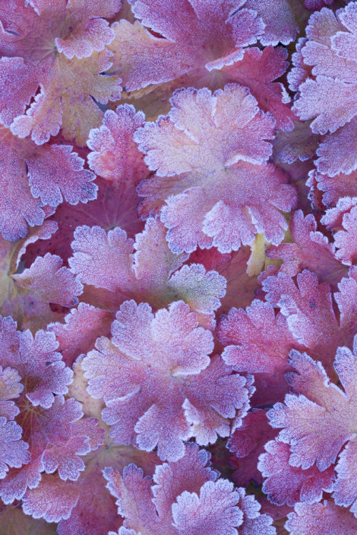 Frosted Geranium leaves