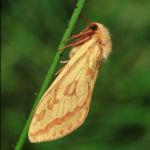 Ghost moth female