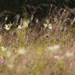 Summer grasses and flowers