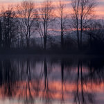 Poplars reflection