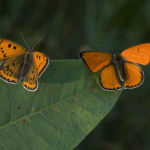 Large coppers female and male