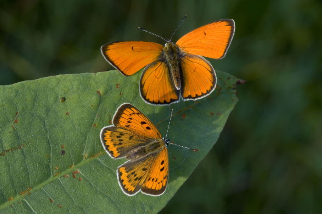 Large copper female and male