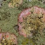 Lichens on Sarsen Stone