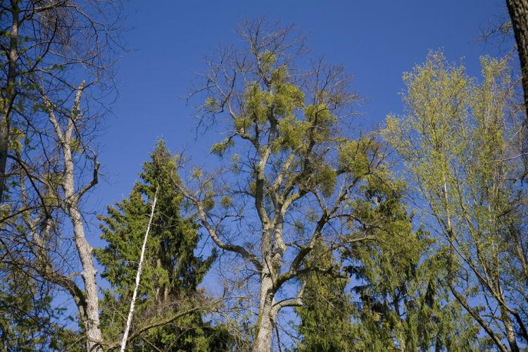 Mistletoe on Lime tree