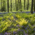 Backlit ferns and bluebells