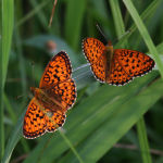Lesser marbled fritillaries
