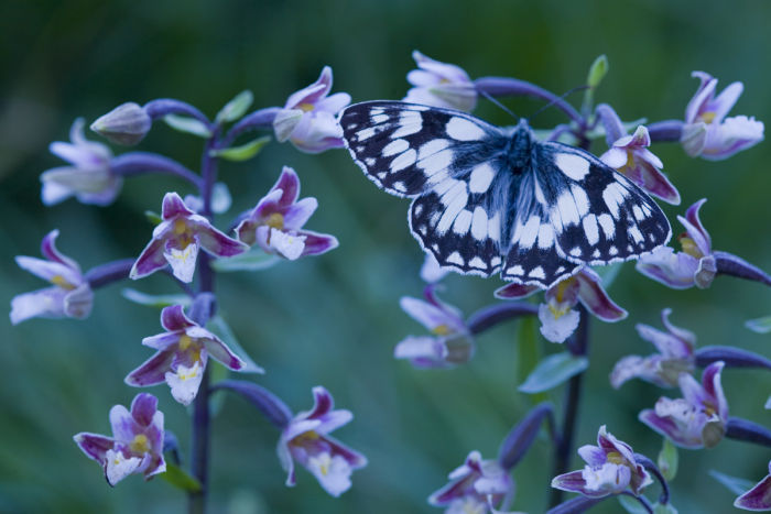 Marbled white and Marsh Helleborine