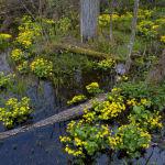 Marsh marigold, wet alder woodland