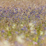 Devils bit scabious Summer meadow