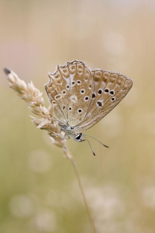 Meleagers blue female