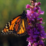 Monarch butterfly backlit