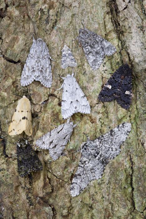 Noctuid moths