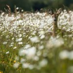 Roe Deer amongst Ox-eye daisies