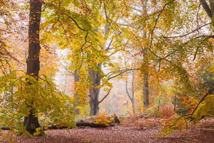 Savernake Forest Autumn Beeches