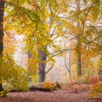 Savernake Forest Autumn Beeches
