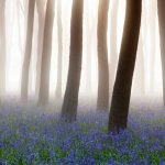 Bluebells and mist Badbury Clump