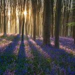 West Woods Bluebell sunrise
