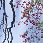 Rowan Berry Falls