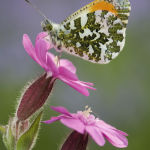 Orange tip male on red campion