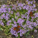 Peacock butterflies nectaring