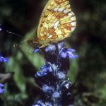 Pearl-bordered fritillary nectaring
