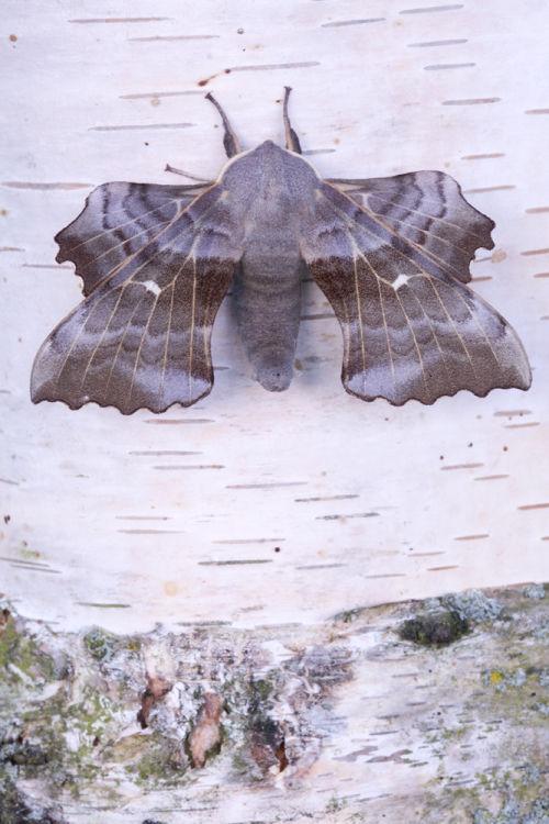 Poplar Hawk male