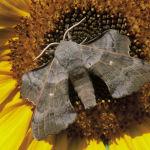 Poplar hawk moth male