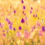 Pyramidal Orchids Salisbury Plain