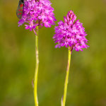 Pyramidal Orchids and 6 spot Burnett moth