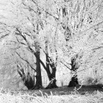 Roundway Down Hoar Frosted Beeches