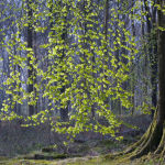 Spring Beech
